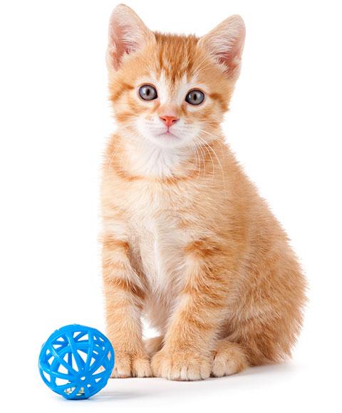 Bornego_kitten